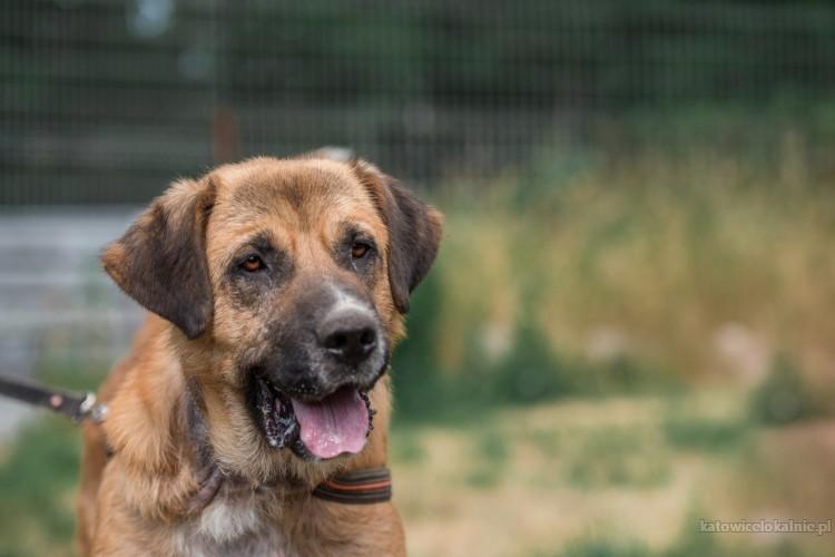 Berni - młody, silny pies szuka domu!